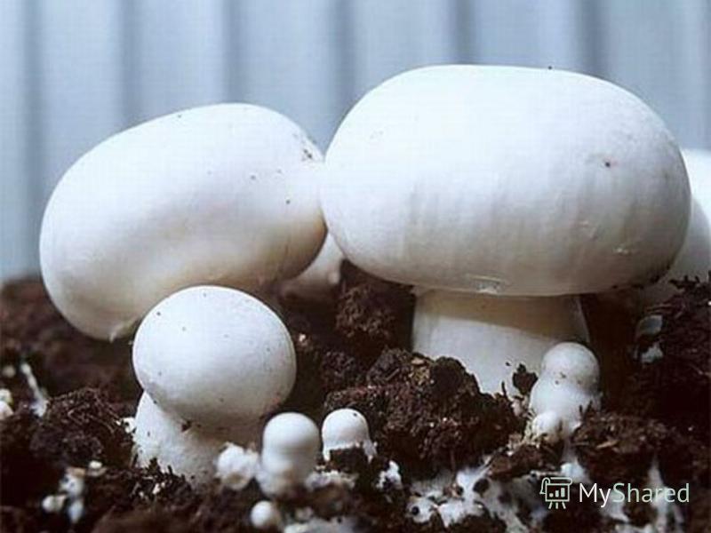 Вид. Плодовые тела различных размеров от 35 Шляпка массивная, плотная, сначала округлая, с возрастом становится всё более плоской. Поверхность гладкая, либо покрыта тёмными чешуйками; цвет от белого до буроватого и коричневого.