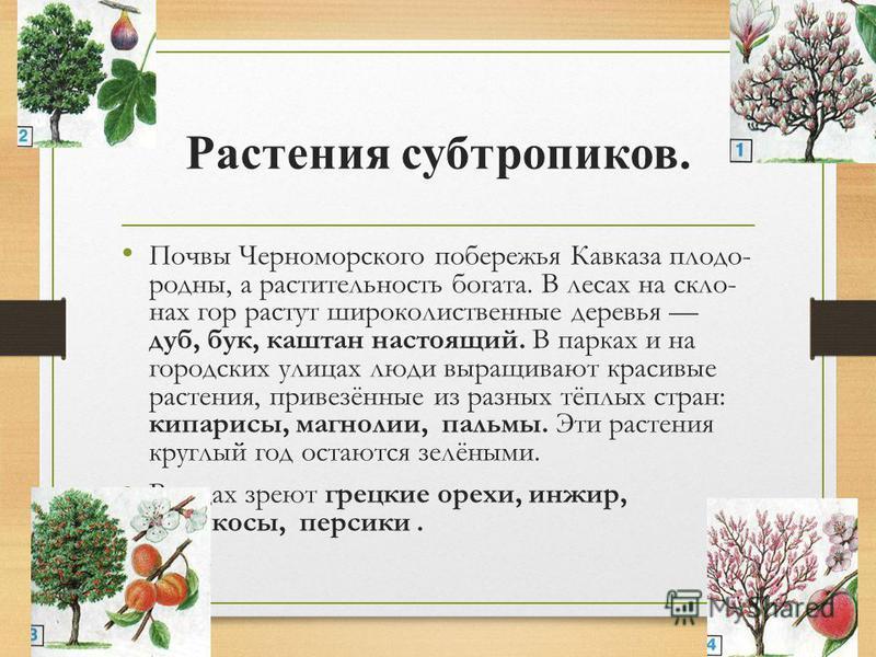 Субтропическая зона ПРИРОДА ЧЕРНОМОРСКОГО ПОБЕРЕЖЬЯ КАВКАЗА Удивительна, не похожа на природу других мест нашей страны природа Черноморского побережья Кавказа. Попав сюда, сразу чувствуешь, что находишься на тёплом юге. Здесь расположена субтропиче