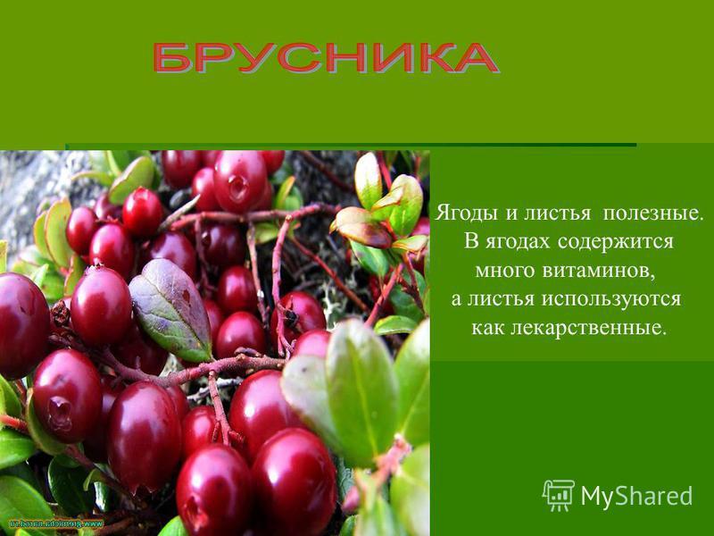 Ягоды и листья полезные. В ягодах содержится много витаминов, а листья используются как лекарственные.