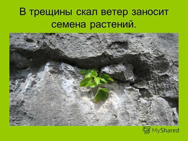 В трещины скал ветер заносит семена растений.