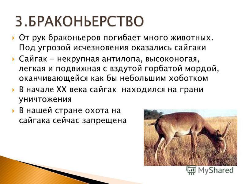 От рук браконьеров погибает много животных. Под угрозой исчезновения оказались сайгаки Cайгак - некрупная антилопа, высоконогая, легкая и подвижная с вздутой горбатой мордой, оканчивающейся как бы небольшим хоботком В начале XX века сайгак находился