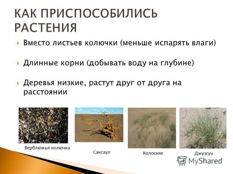 Вместо листьев колючки (меньше испарять влаги) Длинные корни (добывать воду на глубине) Деревья низкие, растут друг от друга на расстоянии Верблюжья колючка Саксаул Колосняк Джузгун