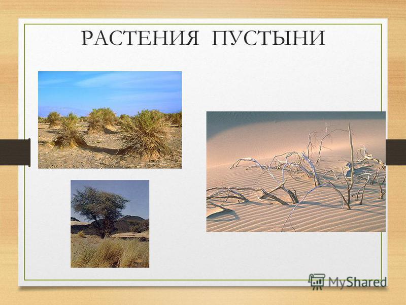 РАСТИТЕЛЬНЫЙ МИР Растения не образуют сплошного покрова. Растут пучками, редкими кустиками, между ними видна растрескавшаяся глина или сухой песок. У растений корни уходят глубоко в землю(20-30 м), так как только там могут найти влагу. Мелкие листья