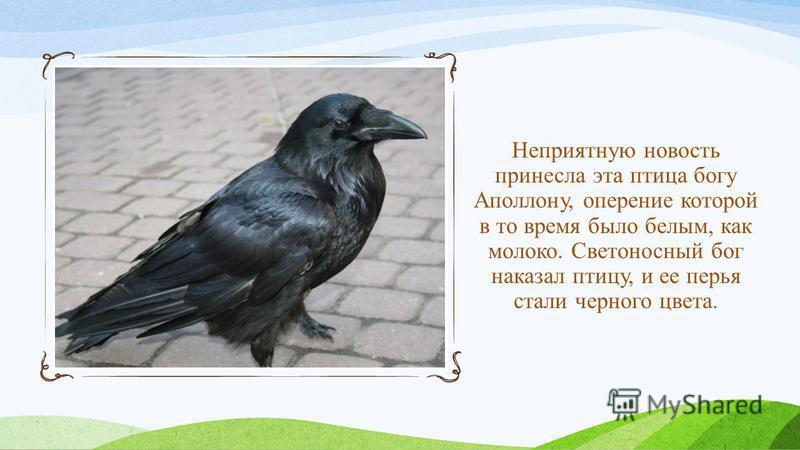 Неприятную новость принесла эта птица богу Аполлону, оперение которой в то время было белым, как молоко. Светоносный бог наказал птицу, и ее перья стали черного цвета.