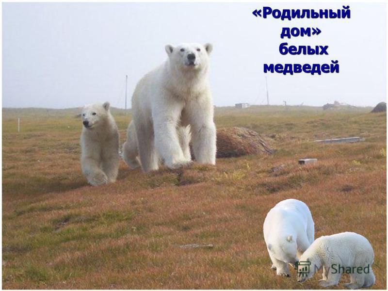 «Родильный дом» белых медведей