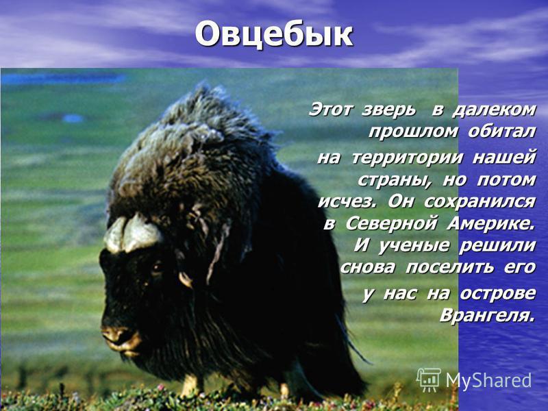 Овцебык Этот зверь в далеком прошлом обитал на территории нашей страны, но потом исчез. Он сохранился в Северной Америке. И ученые решили снова поселить его у нас на острове Врангеля.