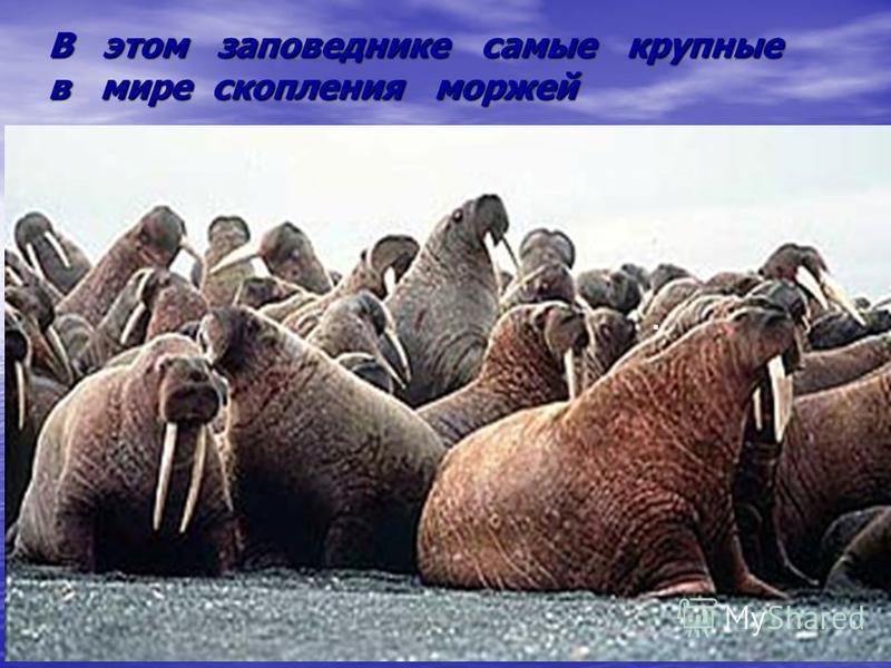 В этом заповеднике самые крупные в мире скопления моржей В этом заповеднике самые крупные в мире скопления моржей.