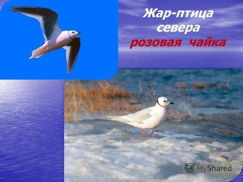 Жар-птица севера розовая чайка