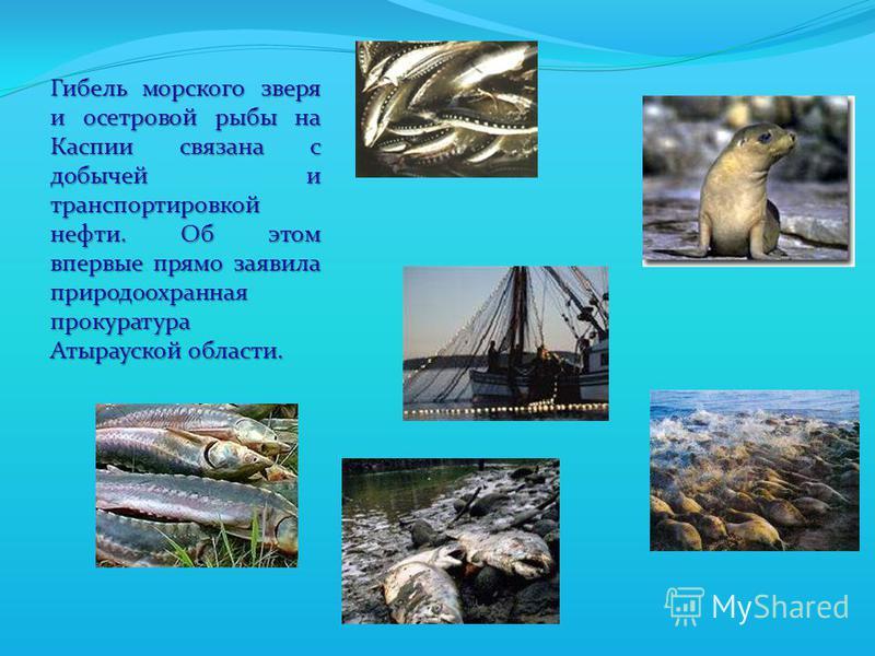 Гибель морского зверя и осетровой рыбы на Каспии связана с добычей и транспортировкой нефти. Об этом впервые прямо заявила природоохранная прокуратура Атырауской области.