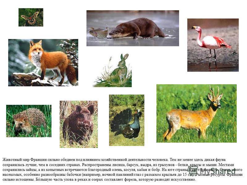 Животный мир Франции сильно обеднен под влиянием хозяйственной деятельности человека. Тем не менее здесь дикая фауна сохранилась лучше, чем в соседних странах. Распространены лисица, барсук, выдра, из грызунов - белки, крысы и мыши. Местами сохранили