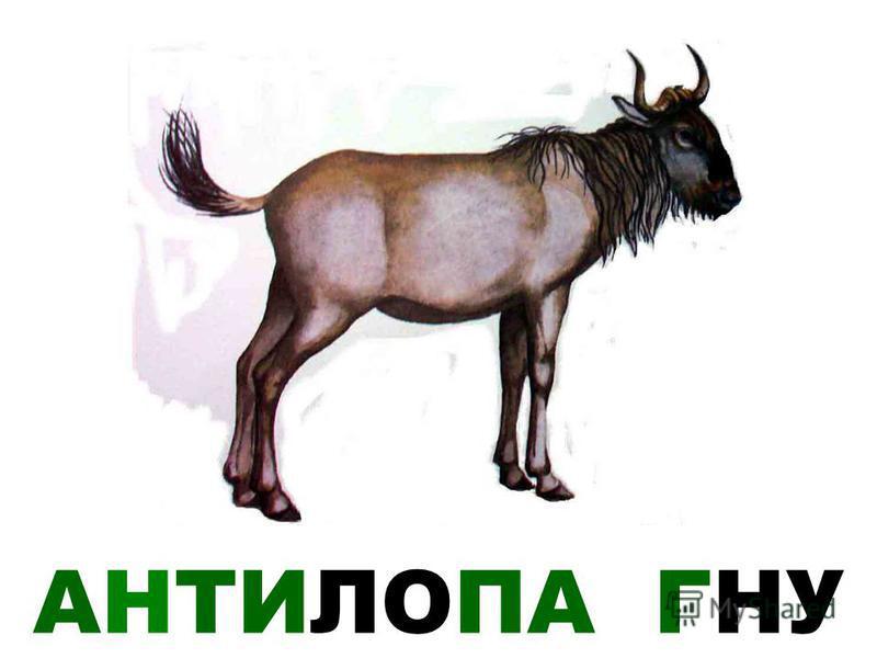 АНТИЛОПА ГНУ