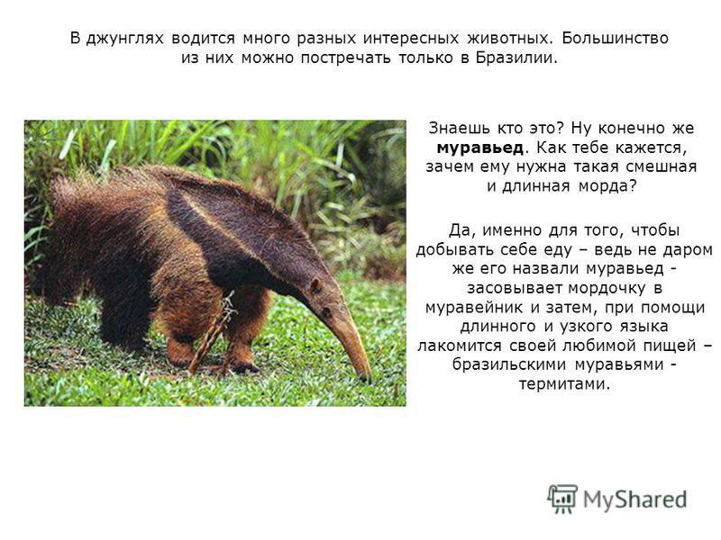 В джунглях водится много разных интересных животных. Большинство из них можно повстречать только в Бразилии. Знаешь кто это? Ну конечно же муравьед. Как тебе кажется, зачем ему нужна такая смешная и длинная морда? Да, именно для того, чтобы добывать