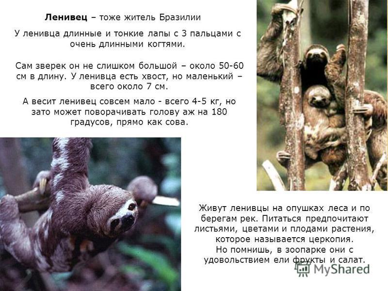 Ленивец – тоже житель Бразилии У ленивца длинные и тонкие лапы с 3 пальцами с очень длинными когтями. Сам зверек он не слишком большой – около 50-60 см в длину. У ленивца есть хвост, но маленький – всего около 7 см. А весит ленивец совсем мало - всег