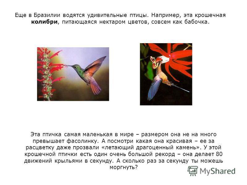 Еще в Бразилии водятся удивительные птицы. Например, эта крошечная колибри, питающаяся нектаром цветов, совсем как бабочка. Эта птичка самая маленькая в мире – размером она не на много превышает фасолинку. А посмотри какая она красивая – ее за расцве