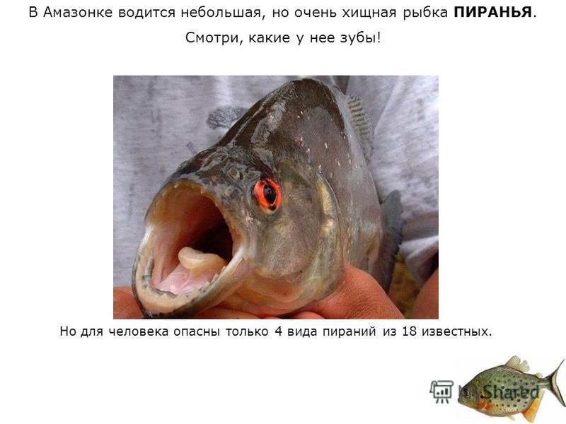В Амазонке водится небольшая, но очень хищная рыбка ПИРАНЬЯ. Смотри, какие у нее зубы! Но для человека опасны только 4 вида пираний из 18 известных.