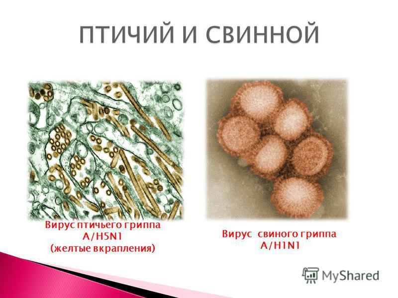 Вирус птичьего гриппа А/H5N1 (желтые вкрапления) Вирус свиного гриппа A/H1N1