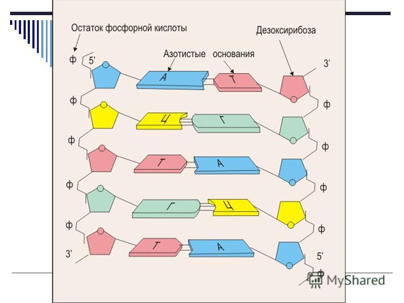 Строение нуклеотидов ДНК Азотистые основания ДНК : А - аденин Т - тимин, Г - гуанин Ц - цитозин Углевод ДНК : дезоксирибоза.