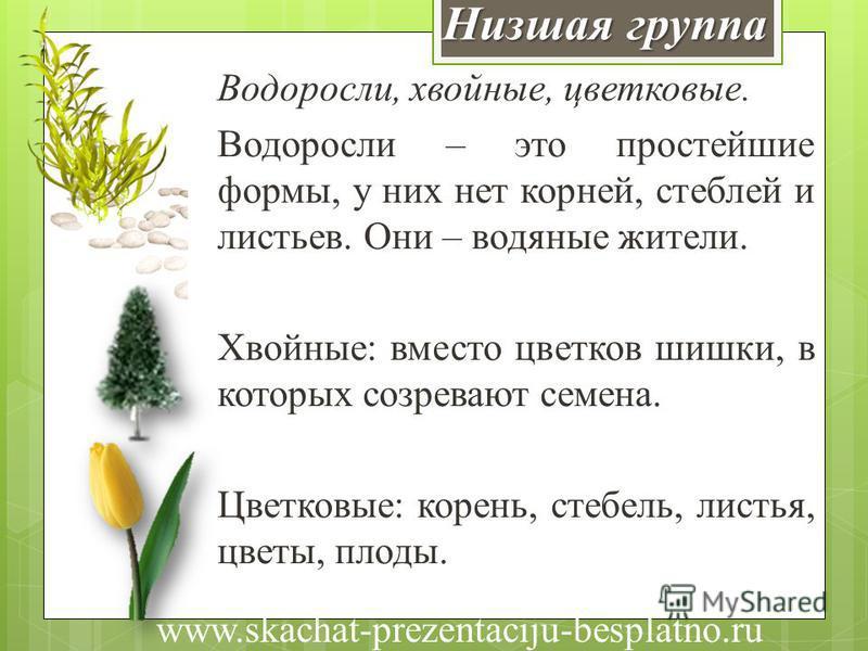 Низшая группа Водоросли, хвойные, цветковые. Водоросли – это простейшие формы, у них нет корней, стеблей и листьев. Они – водяные жители. Хвойные: вместо цветков шишки, в которых созревают семена. Цветковые: корень, стебель, листья, цветы, плоды. www