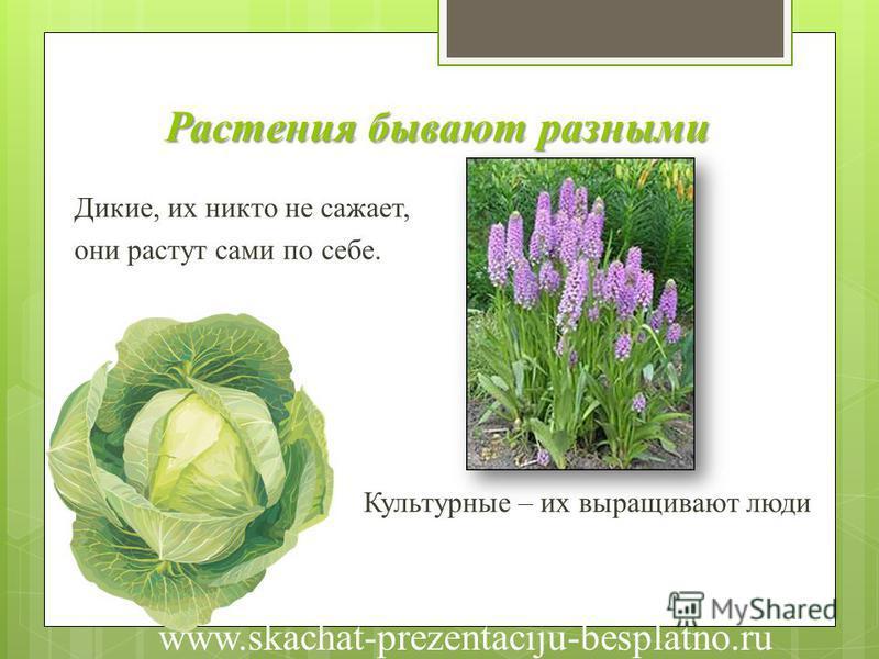 Растения бывают разными Дикие, их никто не сажает, они растут сами по себе. Культурные – их выращивают люди www.skachat-prezentaciju-besplatno.ru