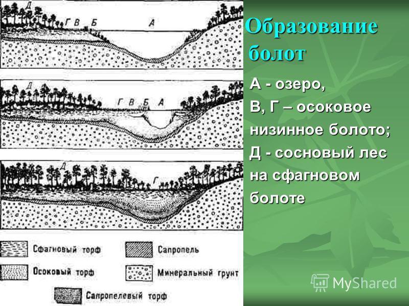 Образование болот Образование болот А - озеро, А - озеро, В, Г – осоковое В, Г – осоковое низинное болото; низинное болото; Д - сосновый лес Д - сосновый лес на сфагновом на сфагновом болоте болоте