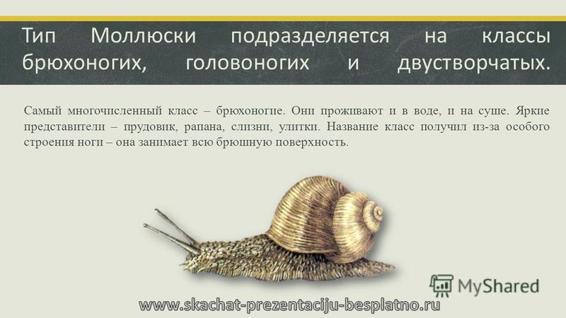Тип Моллюски подразделяется на классы брюхоногих, головоногих и двустворчатых. Самый многочисленный класс – брюхоногие. Они проживают и в воде, и на суше. Яркие представители – прудовик, рапана, слизни, улитки. Название класс получил из-за особого ст