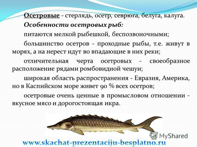 Осетровые - стерлядь, осетр, севрюга, белуга, калуга. Особенности осетровых рыб: питаются мелкой рыбешкой, беспозвоночными; большинство осетров - проходные рыбы, т.е. живут в морях, а на нерест идут во впадающие в них реки; отличительная черта осетро