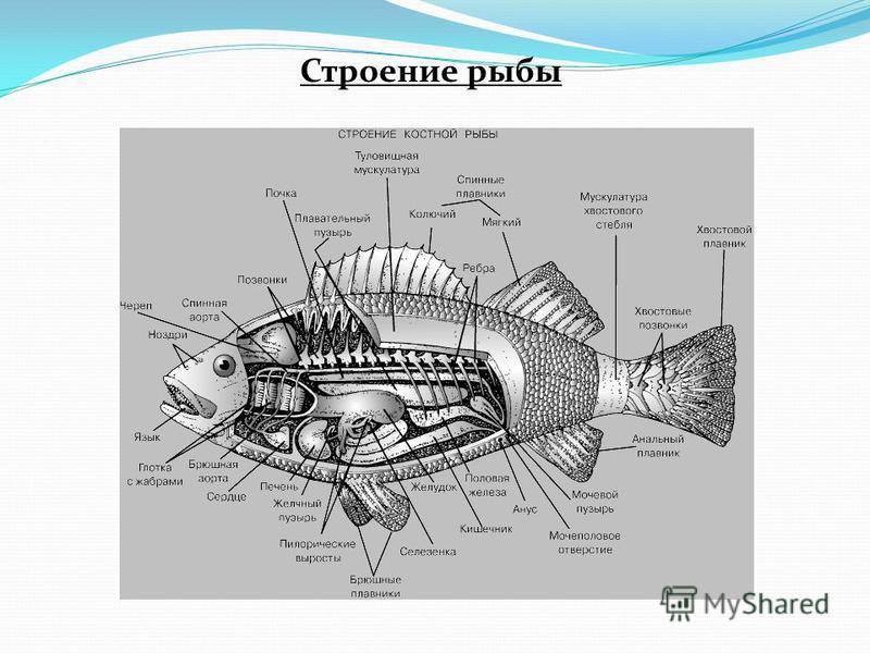 Строение рыбы