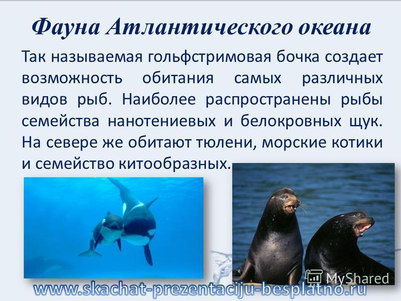 Фауна Атлантического океана Так называемая гольфстримовая бочка создает возможность обитания самых различных видов рыб. Наиболее распространены рыбы семейства нанотениевых и белокровных щук. На севере же обитают тюлени, морские котики и семейство кит