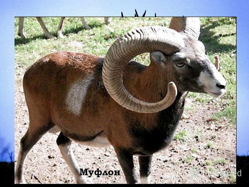 Животный мир Муфлон