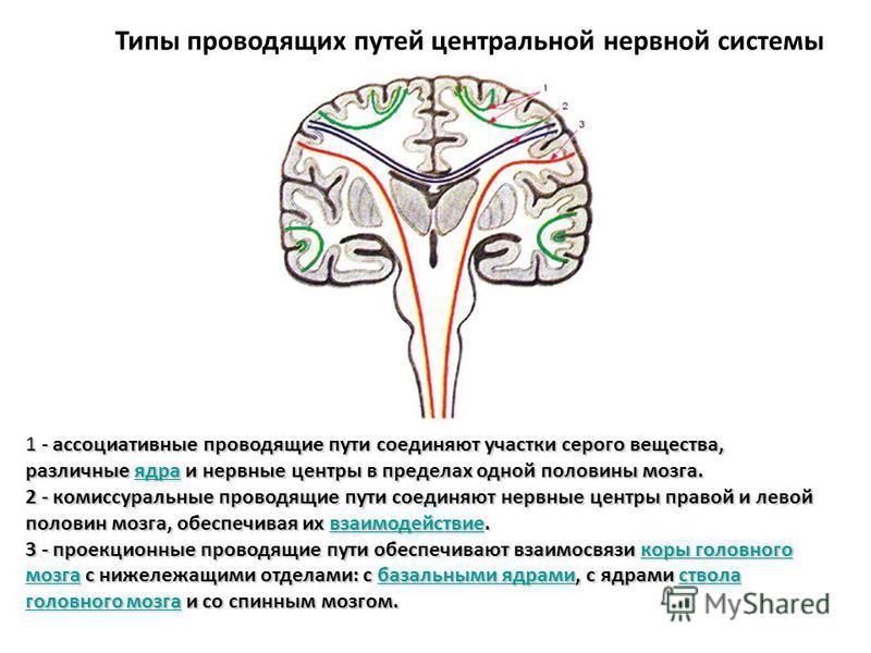 Типы проводящих путей центральной нервной системы 1 - ассоциативные проводящие пути соединяют участки серого вещества, различные ядра и нервные центры в пределах одной половины мозга. 2 - комиссуральные проводящие пути соединяют нервные центры правой