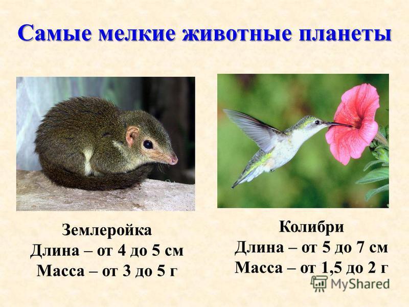 Самые мелкие животные планеты Землеройка Длина – от 4 до 5 см Масса – от 3 до 5 г Колибри Длина – от 5 до 7 см Масса – от 1,5 до 2 г