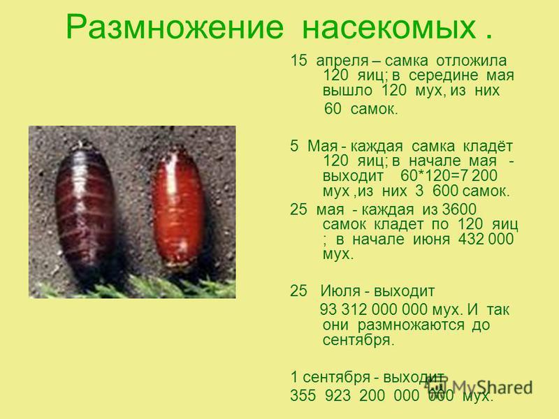 Размножение насекомых. 15 апреля – самка отложила 120 яиц; в середине мая вышло 120 мух, из них 60 самок. 5 Мая - каждая самка кладёт 120 яиц; в начале мая - выходит 60*120=7 200 мух,из них 3 600 самок. 25 мая - каждая из 3600 самок кладет по 120 яиц