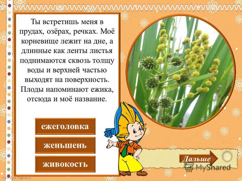 FokinaLida.75@mail.ru живокость женьшень еже головка Дальше Ты встретишь меня в прудах, озёрах, речках. Моё корневище лежит на дне, а длинные как ленты листья поднимаются сквозь толщу воды и верхней частью выходят на поверхность. Плоды напоминают ежи
