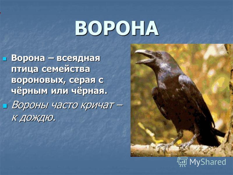 ВОРОНА Ворона – всеядная птица семейства вороновых, серая с чёрным или чёрная. Ворона – всеядная птица семейства вороновых, серая с чёрным или чёрная. Вороны часто кричат – к дождю. Вороны часто кричат – к дождю.