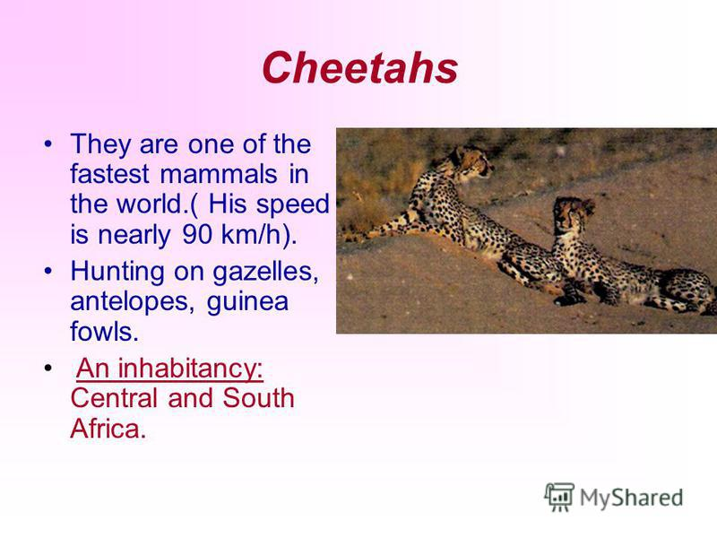 Cheetahs They are one of the fastest mammals in the world.( His speed is nearly 90 km/h). Hunting on gazelles, antelopes, guinea fowls. An inhabitancy: Central and South Africa.