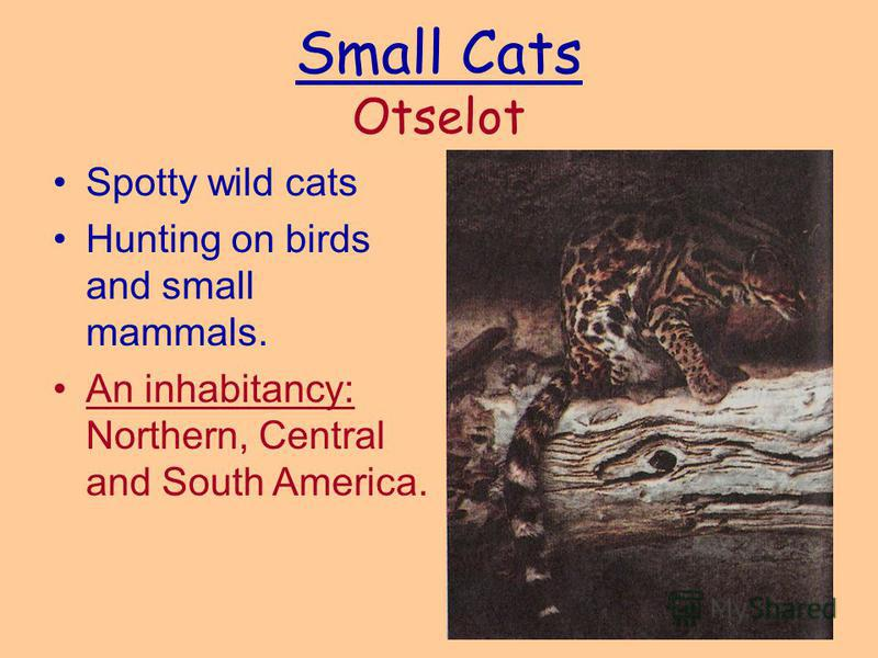 Small Cats Otselot Spotty wild cats Hunting on birds and small mammals. An inhabitancy: Northern, Central and South America.