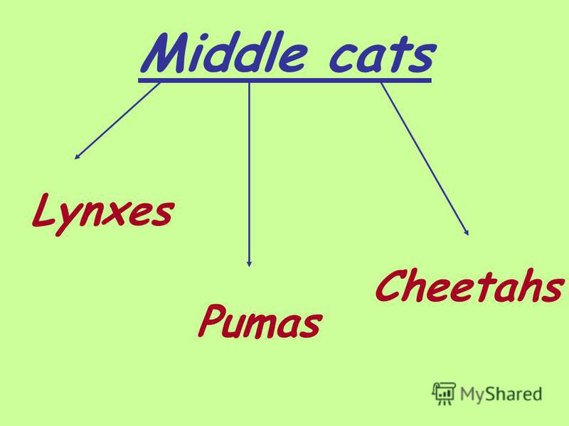 Middle cats Lynxes Pumas Cheetahs
