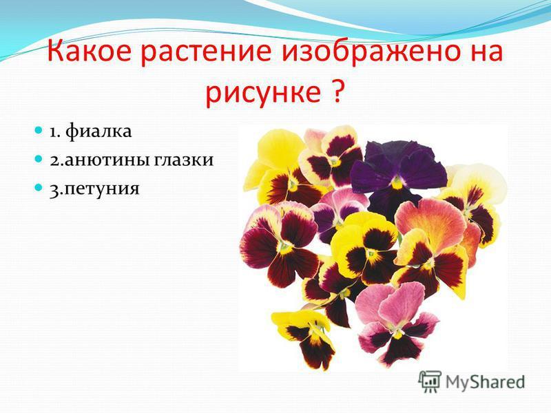 Какое растение изображено на рисунке ? 1. фиалка 2. анютины глазки 3.петуния