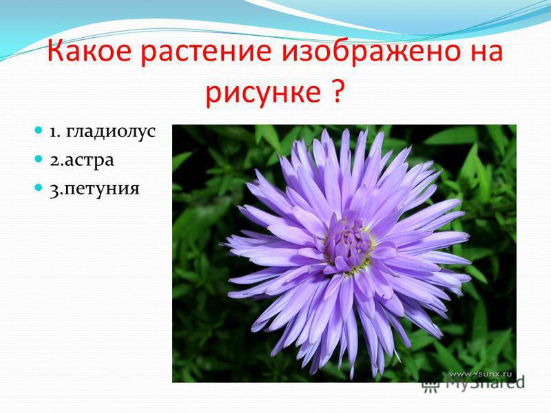 Какое растение изображено на рисунке ? 1. гладиолус 2. астра 3.петуния