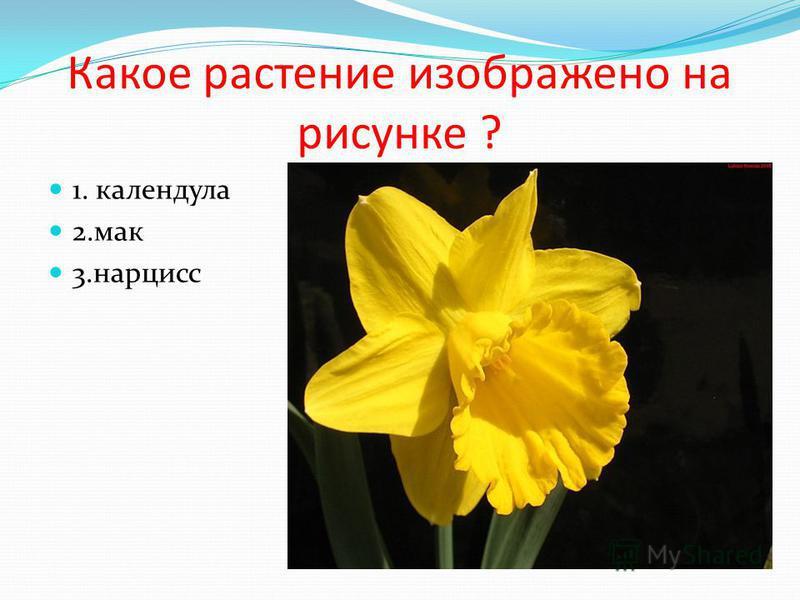 Какое растение изображено на рисунке ? 1. календула 2. мак 3.нарцисс