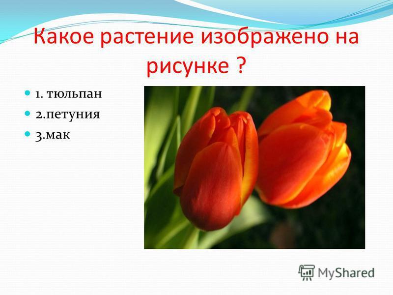 Какое растение изображено на рисунке ? 1. тюльпан 2. петуния 3.мак