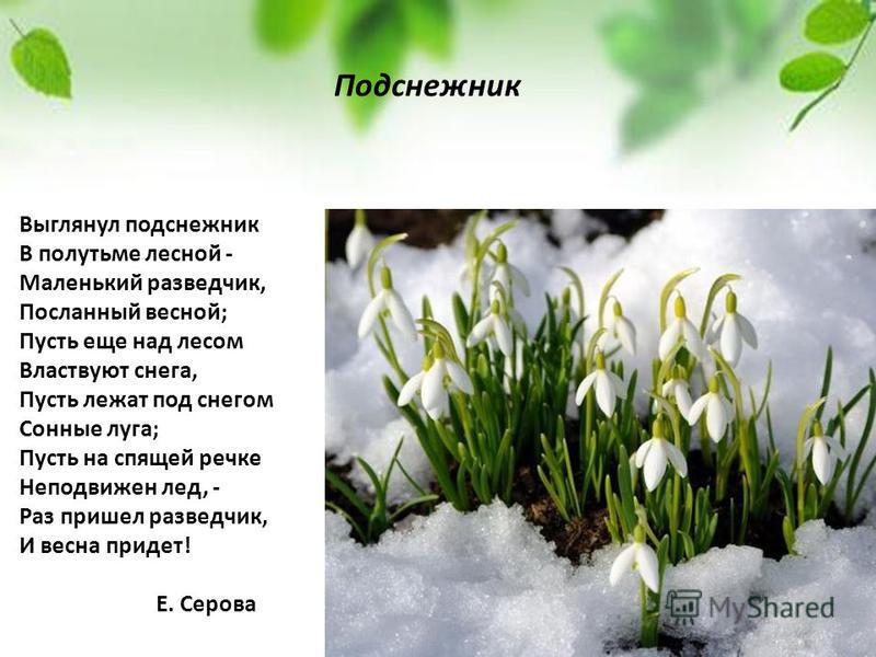 Выглянул подснежник В полутьме лесной - Маленький разведчик, Посланный весной; Пусть еще над лесом Властвуют снега, Пусть лежат под снегом Сонные луга; Пусть на спящей речке Неподвижен лед, - Раз пришел разведчик, И весна придет! Е. Серова Подснежник