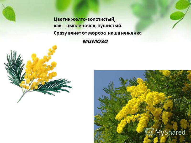 Цветик жёлто-золотистый, как цыплёночек, пушистый. Сразу вянет от мороза наша неженка мимоза