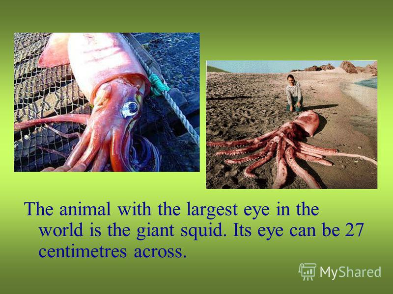 The animal with the largest eye in the world is the giant squid. Its eye can be 27 centimetres across.