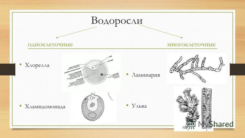 Водоросли одноклеточные Хлорелла Хламидомонада многоклеточные Ламинария Ульва
