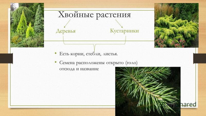 Хвойные растения Деревья Кустарники Есть корни, стебли, листья. Семена расположены открыто (голо) отсюда и название