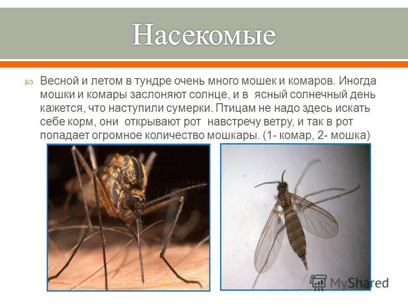 Весной и летом в тундре очень много мошек и комаров. Иногда мошки и комары заслоняют солнце, и в ясный солнечный день кажется, что наступили сумерки. Птицам не надо здесь искать себе корм, они открывают рот навстречу ветру, и так в рот попадает огром