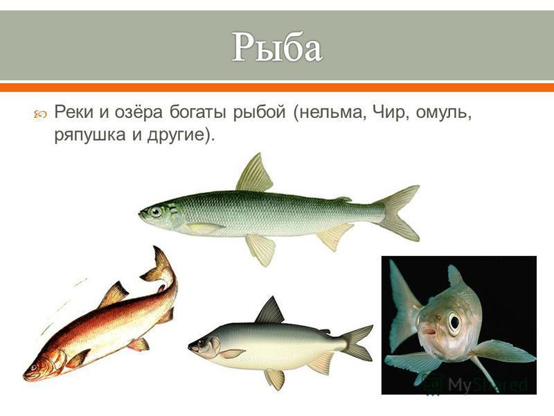 Реки и озёра богаты рыбой ( нельма, Чир, омуль, ряпушка и другие ).