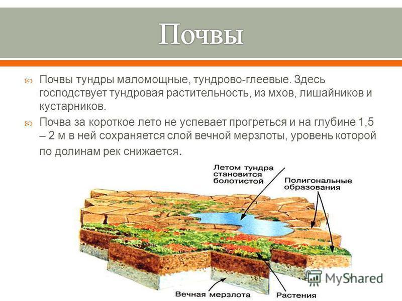 Почвы тундры маломощные, тундрово - глеевые. Здесь господствует тундровая растительность, из мхов, лишайников и кустарников. Почва за короткое лето не успевает прогреться и на глубине 1,5 – 2 м в ней сохраняется слой вечной мерзлоты, уровень которой