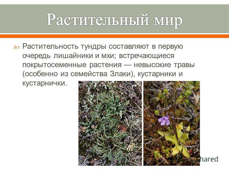Растительность тундры составляют в первую очередь лишайники и мхи ; встречающиеся покрытосеменные растения невысокие травы ( особенно из семейства Злаки ), кустарники и кустарнички.